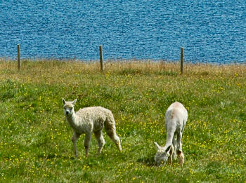 Picture of two alpacas on a field near the shore