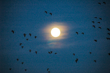 Picture of birds on a moonlit sky