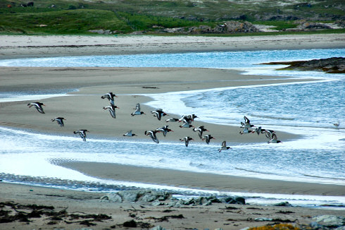 Picture of a group of oystercatchers flying over a beach