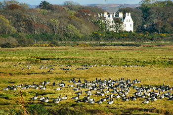 Picture of geese in marshland in front of a large white building