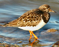 Picture of a turnstone (bird)