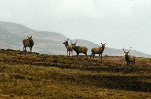 Picture of deer on a hillside on a gloomy late afternoon