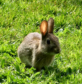 Picture of a young rabbit