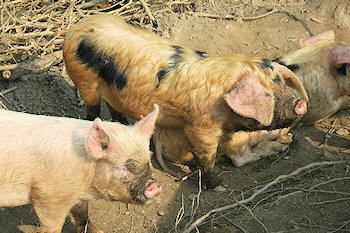Picture of some pigs