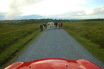 Picture of cows walking in front of a car on a single track road