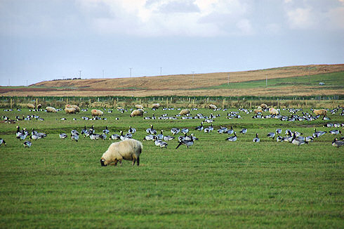 Picture of geese and sheep grazing in the same field
