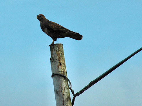 Picture of a Buzzard sitting on a telephone pole