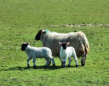 Picture of a sheep with two lambs