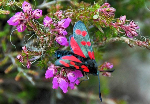Picture of a Six-Spot Burnet Moth on some early heather