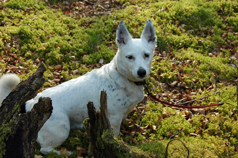 Picture of a white dog in the undergrowth in a wood
