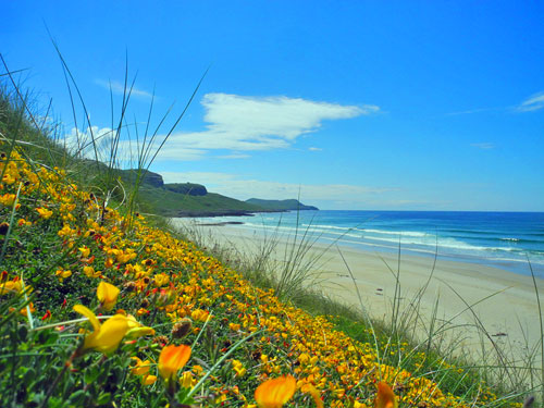 Picture of yellow flowers on dunes above a sandy beach and wide bay
