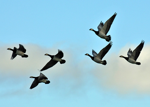 Picture of six Barnacle Geese in flight