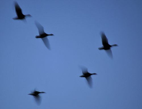 Blurry picture of geese in the late evening sky