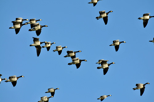 Picture of Barnacle Geese in flight