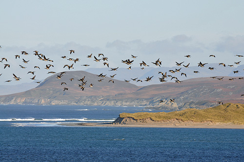 Picture of geese flying above dunes and a hilly landscape