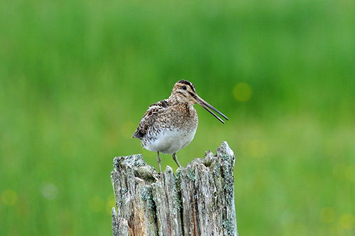 Picture of a Snipe sitting on an old post, beak slightly open
