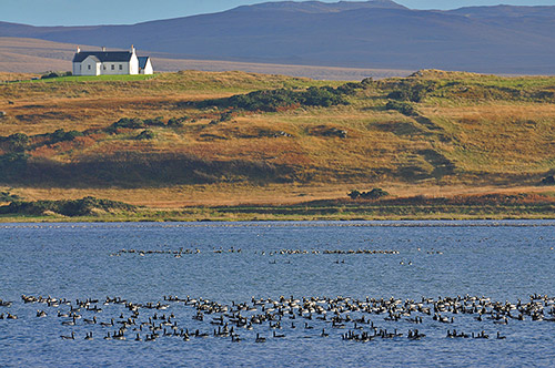 Picture of Barnacle Geese swimming on a sea loch