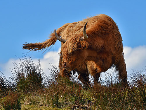 Picture of a Highland Coo in strong wind